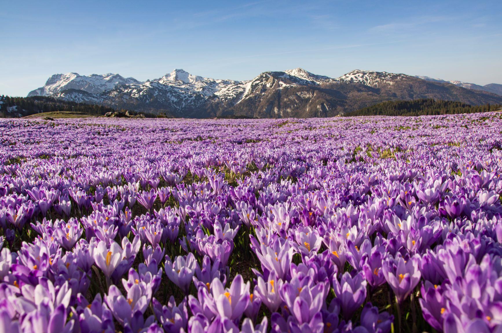 Čarobna Velika planina je spoamladi prekrita z žafrani